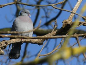 Stock Dove by Harry Appleyard, Howe Park Wood 13 February 2017