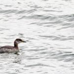 Red-necked Grebe by Peter Hassett, Draycote Water 1 March 2017