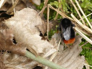 Red-tailed Bumblebee by Harry Appleyard, Howe Park Wood 14 March 2017