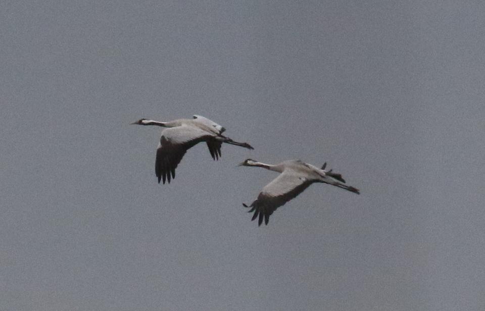 Cranes by Julian Lambley 4 March 2017