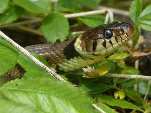 Grass Snake, Tattenhoe