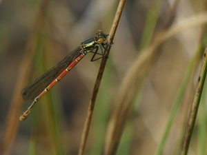 Large Red Damselfly by Harry Appleyard, Tattenhoe 18 April 2017