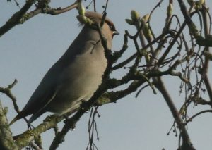 Waxwing by Julian Lambley, Stony Stratford 3 April 2017