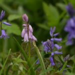 Bluebells by Harry Appleyard, Linford Wood 2 May 2017