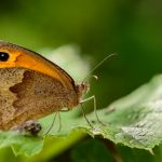 Meadow Brown by Peter Hassett, College Lake 18 June 2017