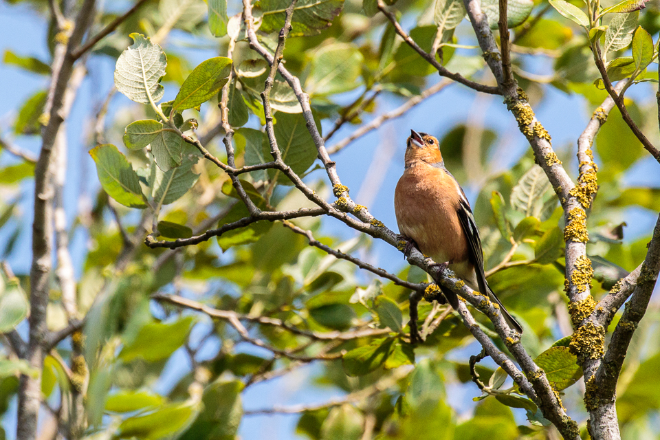 Chaffinch by Peter Hassett, College Lake 18 June 2017