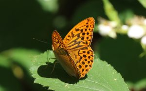 Silver-washed-Fritillary by Julian Lambley Bernwood Butterfly trail 24June 2017
