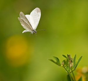 Wood White in flight ©Paul Lund, Bucknell Wood, 8 July 2017