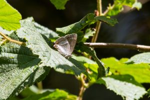 Purple Hairstreak underside ©Paul Young, Bucknell Wood 8 July 2017