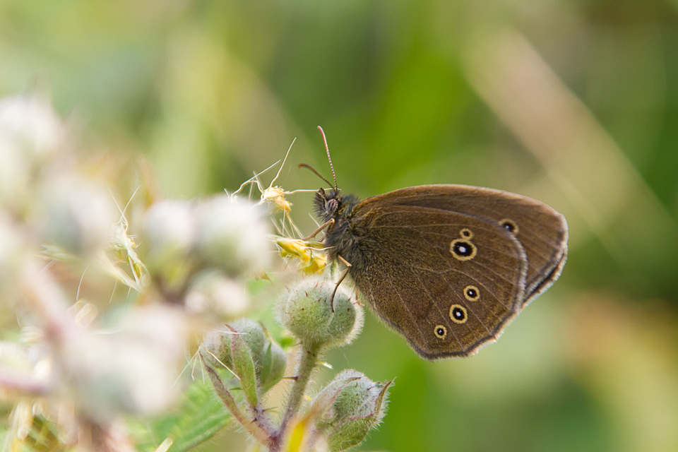 Ringlet ©Paul Young, Bucknell Wood 8 July 2017