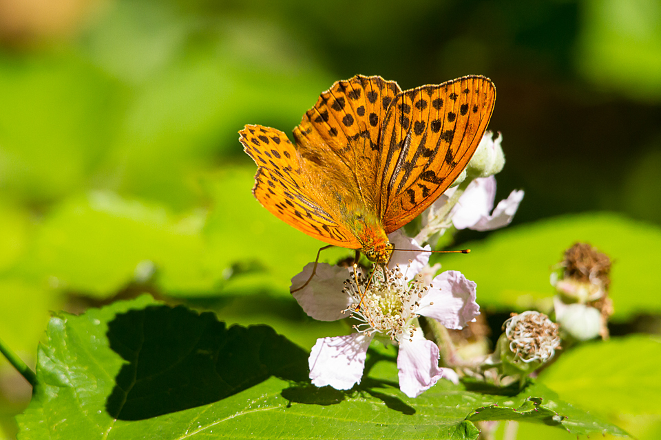 Silver-washed Fritallary (male)©Paul Young, Bucknell Wood 8 July 2017