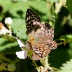 Silver-washed Fritallary (valezina form) ©Paul Young, Bucknell Wood 8 July 2017