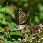 Silver-washed Fritillary (valezina form - two) ©Kevin Booden, Bucknell Wood 8 July 2017