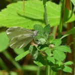 Wood White egg laying ©Kevin Booden, Bucknell Wood 8 July 2017