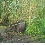 Otter on bridge ©Martin Kincaid, Linford Lakes NR 29 July 2017