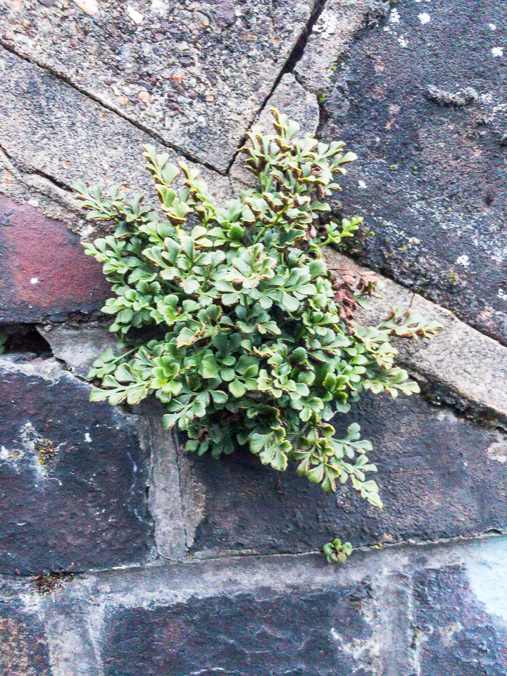 Wall Rue growing in old railway bridge