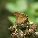 Brown Hairstreak ©Martin Kincaid, Finemere Wood 25 July 2015