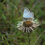 Chalkhill blue on Carline Thistle ©Martin Kincaid, Ivinghoe