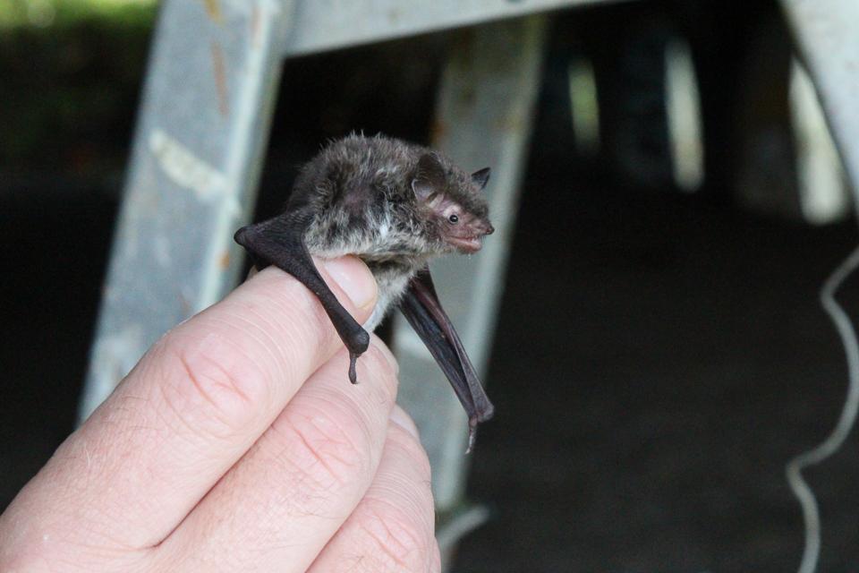 Daubenton's bat ©Ann Strutton, Pineham, 11 August 2017