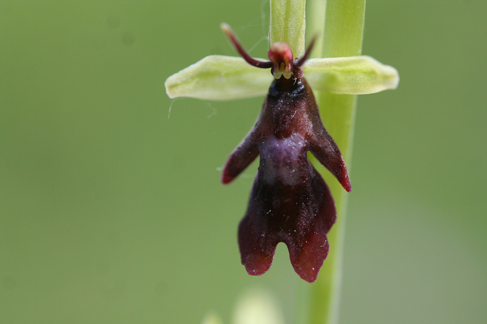 Fly Orchid ©Martin Kincaid, Dancersend
