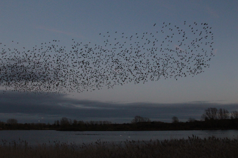 Starling Murmuration by Ann Strutton, Willen Lake 26 November 2017