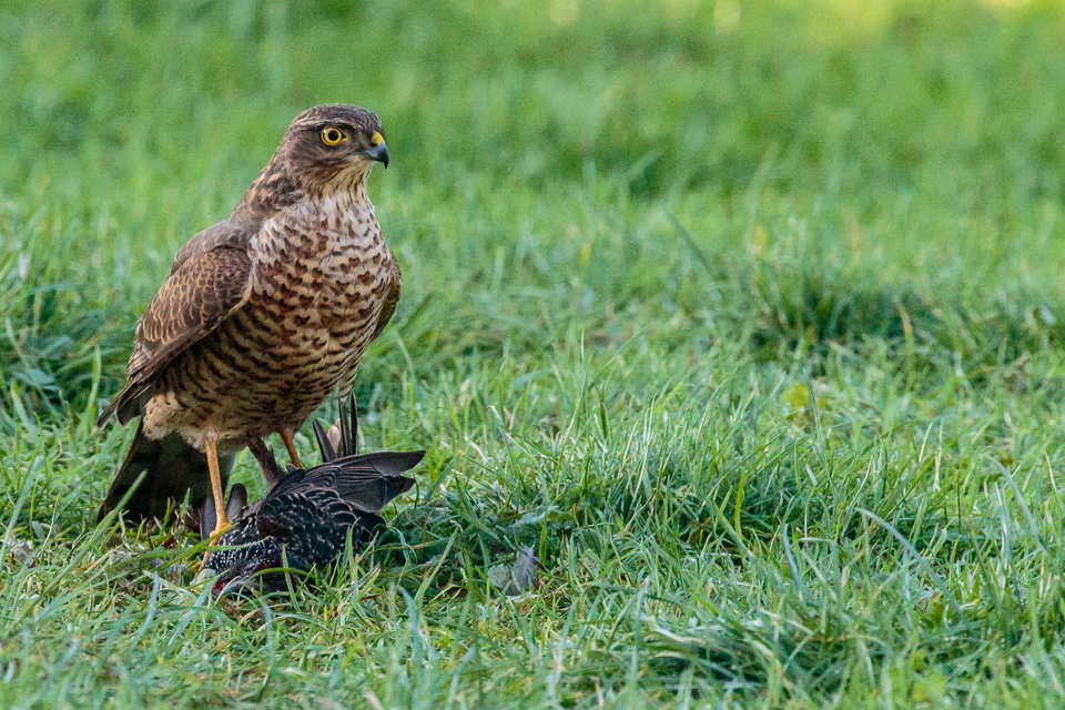 Sparrowhawk ©Peter Hassett, Shenley Church End, 17 January 2018