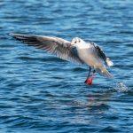 Black-headed Gull ©Peter Hassett, Foxcote Reservoir 19 January 2018