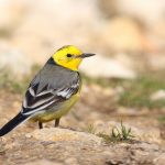 Citrine Wagtail Peter Dunn and Naturetrek Limited