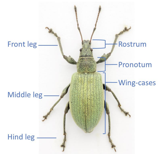 Parts of a Weevil