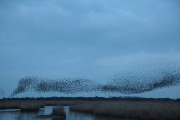 Starlings murmuration by Ann Strutton, Otmoor 13 January 2018