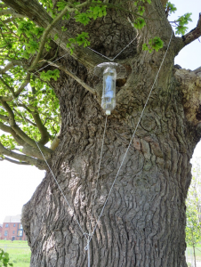 Figure 1: Aerial bottle trap outside a branch socket on the veteran oak at Kingsmead Spinney.