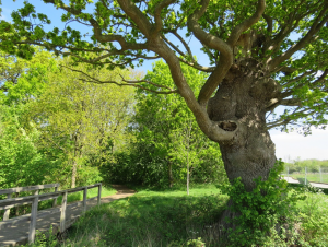 Figure 2: The veteran oak on the southern boundary of Kingsmead Spinney.