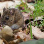 Wood Mouse ©Harry Appleyard, Tattenhoe, 23 January 2018