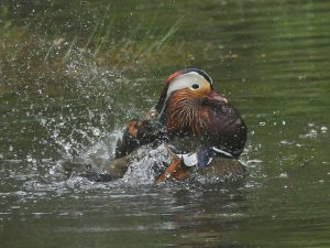 Mandarin Duck ©Janice Robertson, Yarner Wood, Devon. 20 May 2016