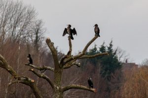 Cormorants ©Peter Hassett Floodplain Forest NR, 4 March 2018