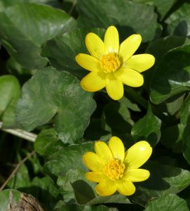 Celandine ©Janice Robertson Ouse Valley Park 16 March 2018