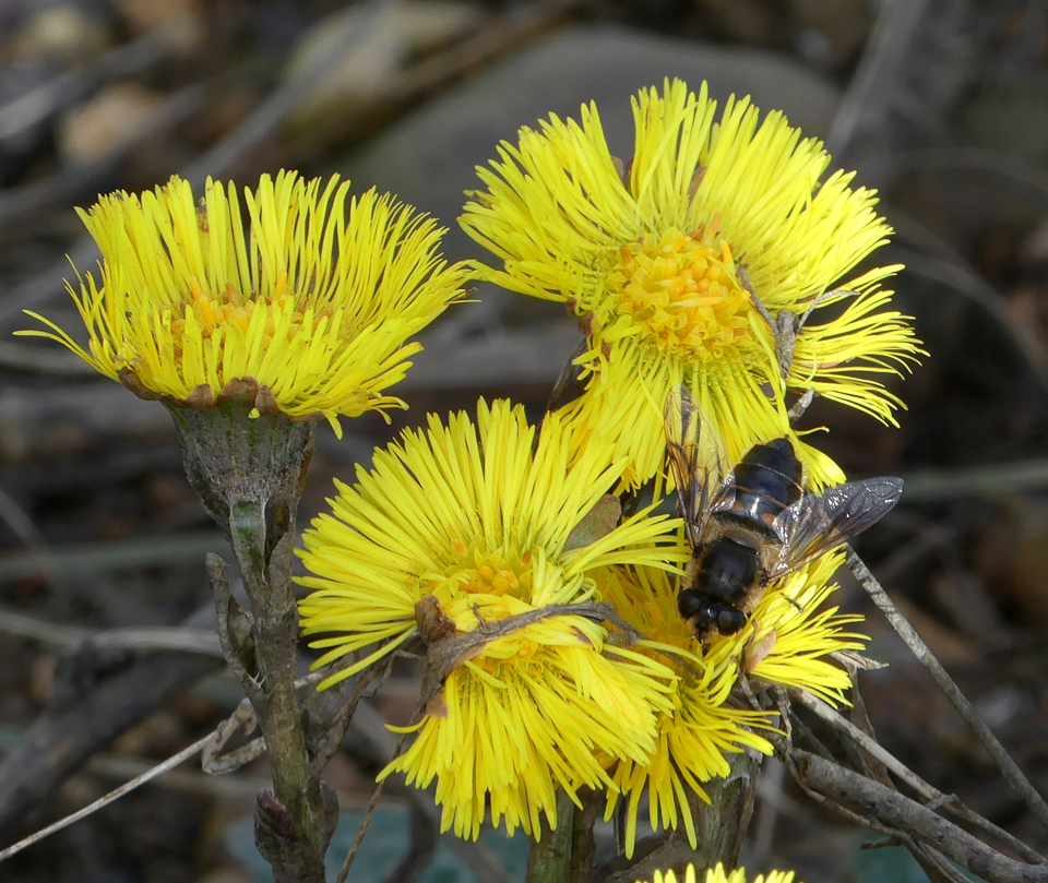 Epistrophe eligans hoverfly ©Janice Robertson Floodplain Forest NR 16 March 2018