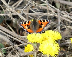 Small Tortoiseshell ©Janice RobertsonFloodplain Forest NR 16 March 2018