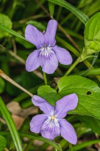 Violet sp.  ©Peter Hassett Stanton Wood, 12 May 2010