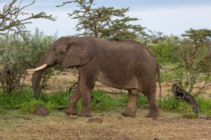 African Elephant  ©Peter Hassett, Mara North Conservancy, Kenya 19 February 2015