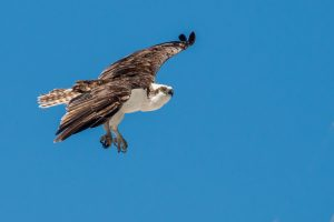 Osprey ©Peter Hassett Everglades, florida 26 February 2011