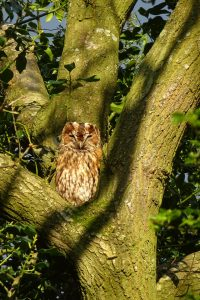 Tawny Owl ©Julie Lane, Clun 5 May 2018