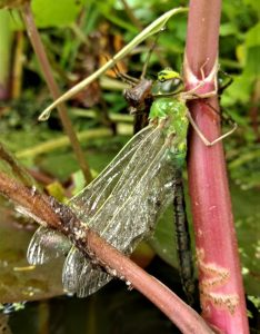 Emperor Dragonfly: emerging from garden pond ©Ian Saunders, Stoke Goldington 24 May 2018