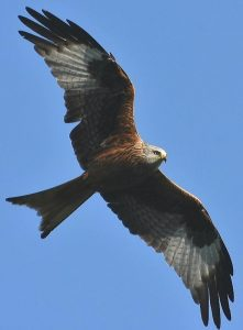 Red Kite ©Steve Brightwell Stoke Goldington 15 May 2018