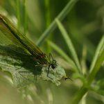 Female, Banded Demoiselle ©Harry Appleyard, Rushden Lakes 5 June 2018