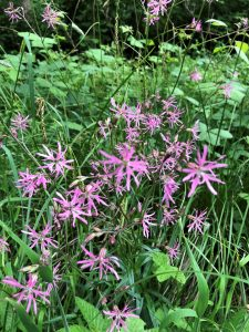 Ragged Robin: in flower, Stoke Wood, Stoke Goldington ©Ian Saunders 4 June 2018