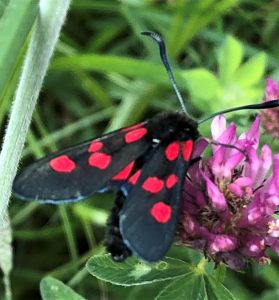 Five-spot Burnet moth: ©Zoe Raven,Stoke Wood, Stoke Goldington 23 June 2018