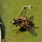 Hover Fly, Helophilus pendulus ©Ian Saunders. garden pond, Stoke Goldington 10 june 2018