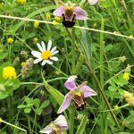 Bee Orchid in garden ©Zoe Raven, Stoke Goldington 17 June 2018