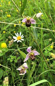 Bee Orchid in grden ©Zoe Raven, Stoke Goldington 17 Jube 2018